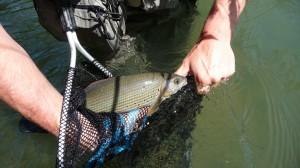 pêche de lombre au Rognon1 300x168 Poissons techniques de pêche