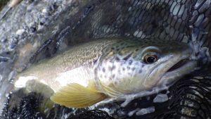 IMGP3013 300x169 Stage pêche mouche à la roulée