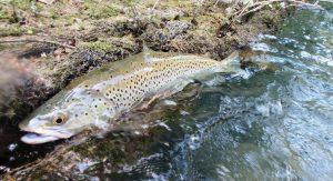 57 Elena 300x163 Pêche de la truite à ultra léger aux leurres