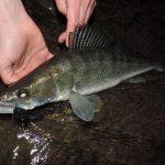 DSCN0542 150x150 Galerie photos pêche des carnassiers