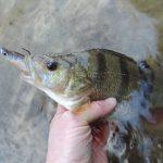 DSCN0829 150x150 Galerie photos pêche des carnassiers
