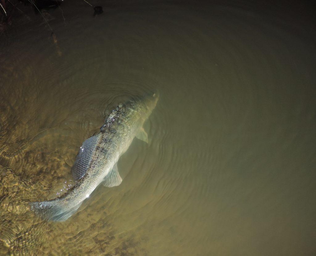 relâche sandre 1024x829 Stage de pêche de nuit des carnassiers