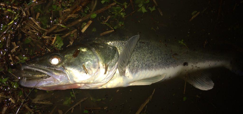 IMG 4218 Copie 1024x479 Stage de pêche de nuit des carnassiers