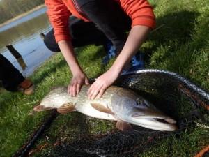 unnamed 53 300x225 Initiation de la pêche du brochet