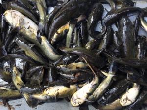 IMG 0339 300x225 Campagne de pêche du poisson chat au Domaine du grand étang