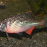 bouvière mâle 150x150 Au Domaine du grand étang