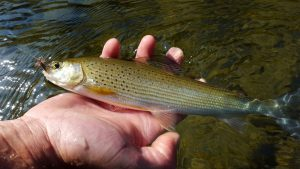 IMG 1884 300x169 Perfectionnement pêche mouche sur la Marne