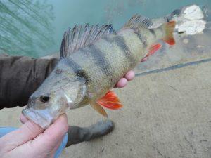 DSCN0569 300x225 Nouveau stage pêche tactile hivernale
