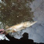 DSCN1702 150x150 Galerie photos pêche des carnassiers