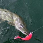 p3 2 150x150 Galerie photos pêche des carnassiers