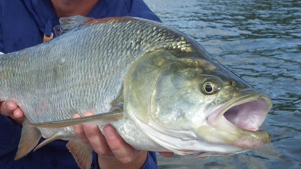 aspe tête II 2 1024x576 Stage de pêche sportive... Laspe